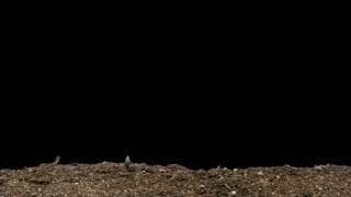 Time-lapse of growing onion sprouts 9x4 in RGB + ALPHA matte format isolated on black background