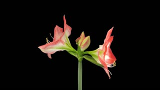 """Time-lapse of growing, opening and rotating """"Minerva"""" amaryllis Christmas flower 4x3 in 4K PNG+ format with ALPHA transparency channel isolated on black background"""