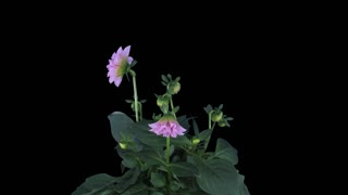 Time-lapse of growing, opening and rotating pink dahlia 9b4 in 4K PNG+ format with ALPHA transparency channel isolated on black background