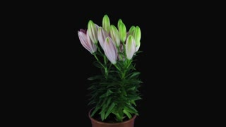 Time-lapse of growing, opening and rotating pink lily 6x3 in RGB + ALPHA matte format isolated on black background
