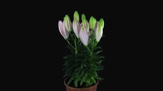 Time-lapse of growing, opening and rotating pink lily 6x4 in 4K PNG+ format with ALPHA transparency channel isolated on black background