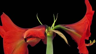 Time-lapse of growing, opening and rotating red amaryllis OLAF Christmas flower 1a3 in RGB + ALPHA matte format isolated on black background