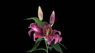Time-lapse of growing, opening and rotating red Stargazer lily 1b3 in DCI 4K PNG+ format with ALPHA transparency channel isolated on black background