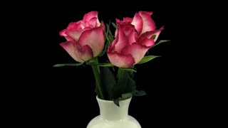 Time-lapse of growing, opening and rotating red-white Blush roses in a vase 1x4 in UHD-4K PNG+ format with alpha transparency channel isolated on black background