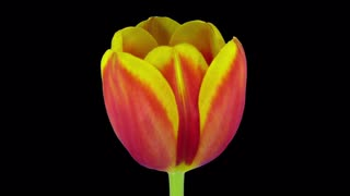 Time-lapse of growing, opening and rotating red-yellow tulip 3b3 in RGB + ALPHA matte format isolated on black background