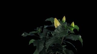 Time-lapse of growing, opening and rotating white Hibiscus (Chinese rose) 1x4 in 4K PNG+ format with alpha transparency channel isolated on black background