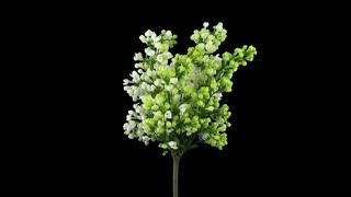 Time-lapse of growing, opening and rotating white Lilac (Syringa) bush branch 1x4 in 4K PNG+ format with alpha transparency channel isolated on black background