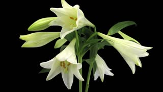 Time-lapse of growing, opening and rotating white lily (Lilium Longiflorum) 1b1 in PNG+ format with ALPHA transparency channel isolated on black background