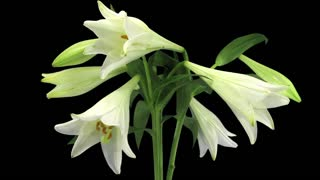 Time-lapse of growing, opening and rotating white lily (Lilium Longiflorum) 1b3 in RGB + ALPHA format isolated on black background