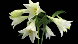 Time-lapse of growing, opening and rotating white lily (Lilium Longiflorum) 1c1 in PNG+ format with ALPHA transparency channel isolated on black background