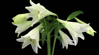 Time-lapse of growing, opening and rotating white lily (Lilium Longiflorum) 1c3 in RGB + ALPHA format isolated on black background