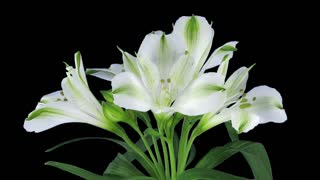 Time-lapse of growing, opening and rotating white Peruvian (Alstroemeria) lily 1d1 in PNG+ format with ALPHA transparency channel isolated on black background