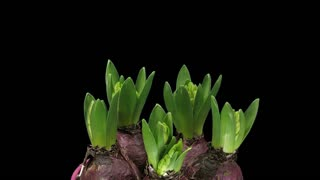 Time-lapse of growing pink hyacinth Christmas flower 2a1 in PNG+ format with ALPHA transparency channel isolated on black background
