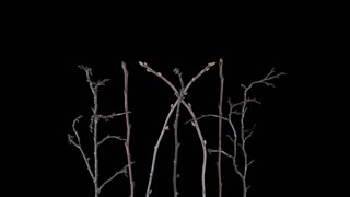 Time-lapse of growing plum, pear, red and black currant branches 15x4 in Digital Cinema Imaging 4K PNG+ format with alpha transparency channel isolated on black background