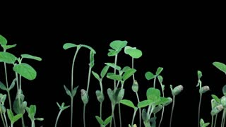 Time-lapse of growing soybeans vegetables 6a3 in RGB + ALPHA matte format isolated on black background