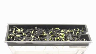 Time-lapse of growing sunflower seeds in a germination box 11b1 on white background