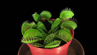 Time-lapse of growing Venus flytrap (Dionaea muscipula) plant 1x3 in 4K PNG+ format with ALPHA transparency channel isolated on black background