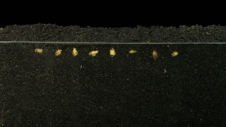 Time-lapse of growing wheat seeds above and below the surface 6a in PNG+ format with ALPHA transparency channel isolated on black background
