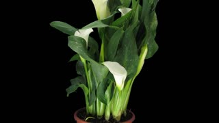 Time-lapse of growing white calla plant 1x4 in 4K PNG+ format with ALPHA transparency channel isolated on black background