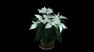 Time-lapse of growing white Poinsettia (Princettia) Christmas flower over 3 weeks period 1a3 in RGB + ALPHA matte format isolated on black background