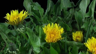Time-lapse of opening and blooming Dandelions buds 14x3 in RGB + ALPHA matte format isolated on black background