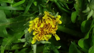 Time-lapse of opening and blooming Dandelions buds 15a1