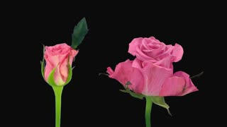 Time-lapse of opening and dying pink Ballet rose 6dč in PNG+ format with ALPHA transparency channel isolated on black background