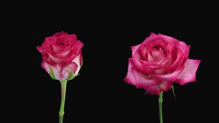 Time-lapse of opening and dying pink N-joy roses 4d3 in PNG+ format with ALPHA transparency channel isolated on black background