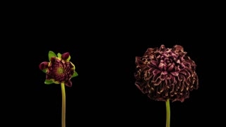 Time-lapse of opening and dying red dahlia flowers 9mon3 in RGB + ALPHA matte format isolated on black background