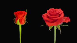 Time-lapse of opening and dying red Jaguar rose 4d4 in RGB + ALPHA matte format isolated on black background