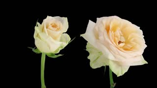 Time-lapse of opening and dying soft white Renate rose 3d3 in RGB + ALPHA matte format isolated on black background