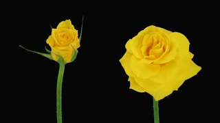 Time-lapse of opening and dying yellow Golden Gate roses 5d4 in RGB + ALPHA matte format isolated on black background