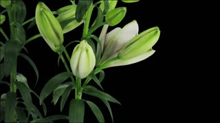Time-lapse of opening bi-color Asiatic lily Tiny Padhye 2x3 in RGB + ALPHA matte format isolated on black background