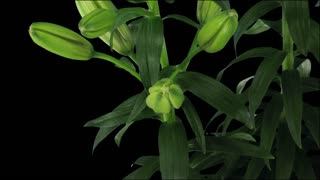 Time-lapse of opening bi-color Asiatic lily Tiny Padhye 3x3 in RGB + ALPHA matte format isolated on black background