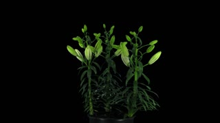 Time-lapse of opening bi-color Asiatic lily Tiny Padhye 4x3 in RGB + ALPHA matte format isolated on black background