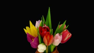 Time-lapse of opening colorful tulips bouquet 4x3 in a vase in RGB + ALPHA matte format isolated on black background