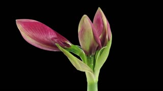 Time-lapse of opening Dark Red amaryllis Christmas flower 3b3 in RGB + ALPHA matte format isolated on black background