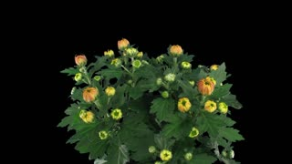 """Time-lapse of opening """"Durango"""" chrysanthemum flower buds 1x1 in PNG+ format with ALPHA transparency channel isolated on black background"""