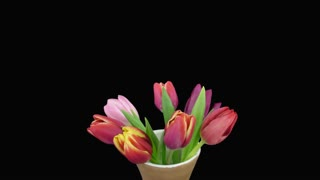 Time-lapse of opening mixed color tulips bouquet in a vase 5x3 in RGB + ALPHA matte format isolated on black background