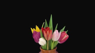 Time-lapse of opening mixed tulips 5a1 in PNG+ format with ALPHA transparency channel isolated on black background