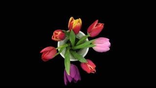 Time-lapse of opening mixed tulips bouquet 4x1 in PNG+ format with ALPHA transparency channel isolated on black background, top view