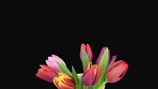 Time-lapse of opening mixed tulips bouquet 5a1 in a vase in PNG+ format with ALPHA transparency channel isolated on black background