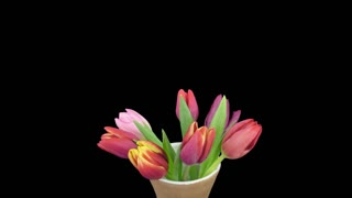 Time-lapse of opening mixed tulips bouquet 5x1 in a vase in PNG+ format with ALPHA transparency channel isolated on black background