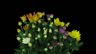 Time-lapse of opening multicolor chrysanthemum flower buds 1a3 in RGB + ALPHA matte format isolated on black background