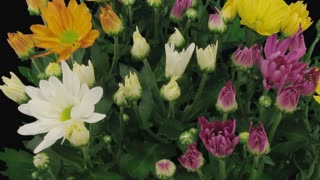 Time-lapse of opening multicolor chrysanthemum flower buds 4a1 in PNG+ format with ALPHA transparency channel isolated on black background