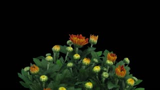 Time-lapse of opening orange chrysanthemum flower buds 1a1 in PNG+ format with ALPHA transparency channel isolated on black background