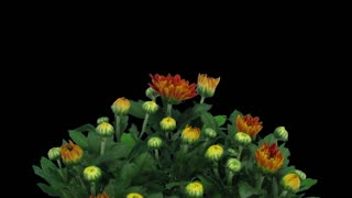Time-lapse of opening orange chrysanthemum flower buds 1a3 in RGB + ALPHA matte format isolated on black background