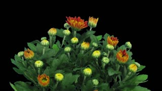 Time-lapse of opening orange chrysanthemum flower buds 1x3 in RGB + ALPHA matte format isolated on black background