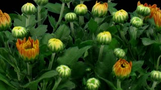 Time-lapse of opening orange chrysanthemum flower buds 2b3 in RGB + ALPHA matte format isolated on black background