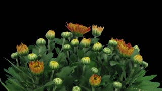 Time-lapse of opening orange chrysanthemum flower buds 3x3 in RGB + ALPHA matte format isolated on black background